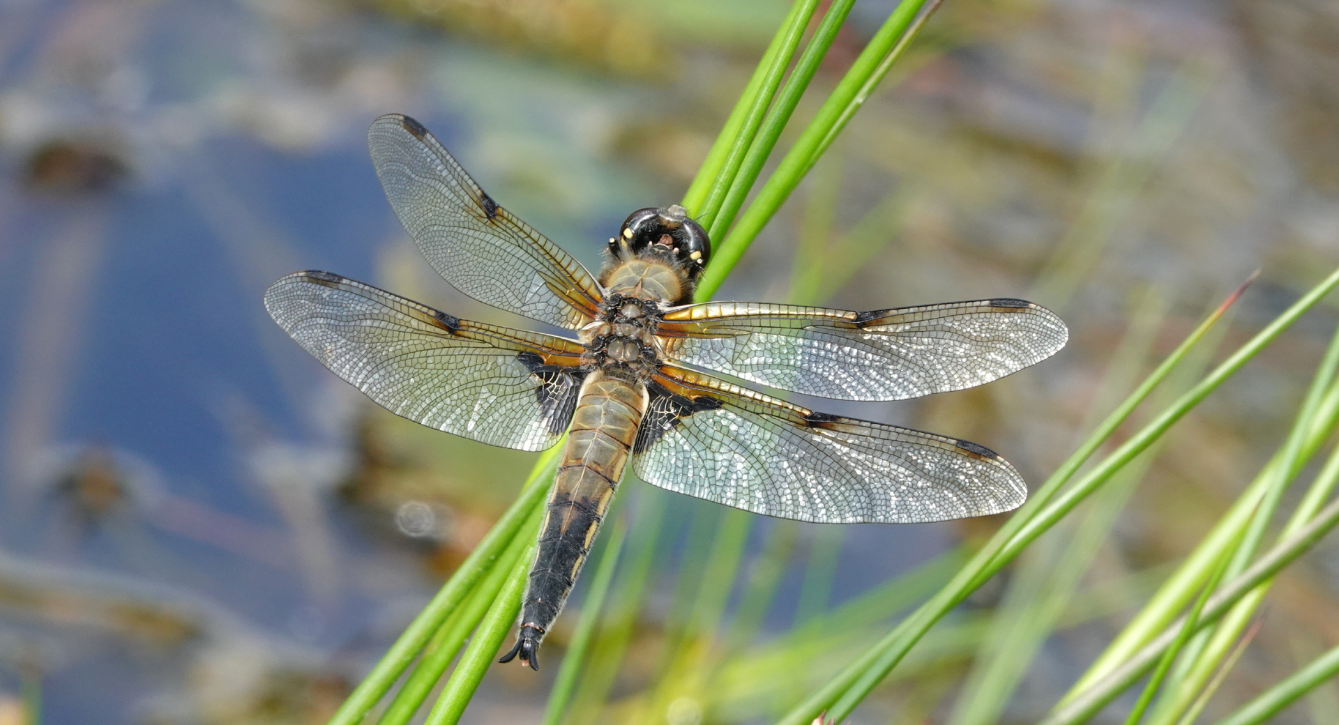 4-spotted chaser 1